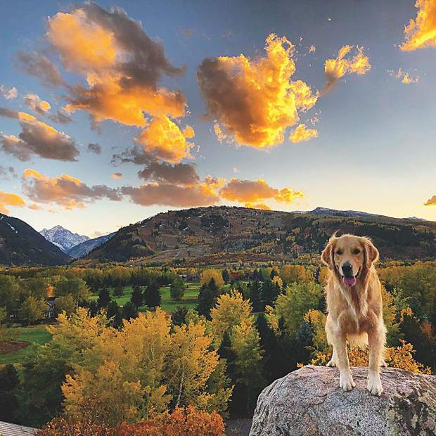 Instagram sensation and local celebrity, Jack The Pupp, soaks up Aspen's fall colors. Lindsay Oliver photo.