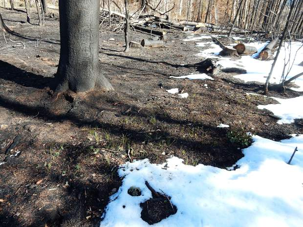 Signs of life among the burn scar - grass sprouts among burned tree trunks on Basalt Mountain.