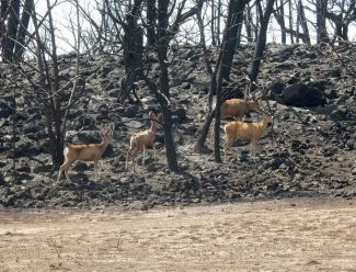 Oh deer! Wildlife officials can't coax increase in Basalt, Glenwood deer herd population