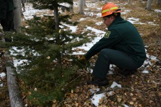 Christmas tree-cutting permits for White River forest land available now