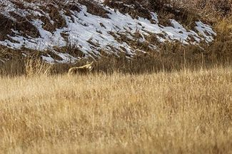 Aspen-area wildlife fences have reduced but not ended collisions on Highway 82