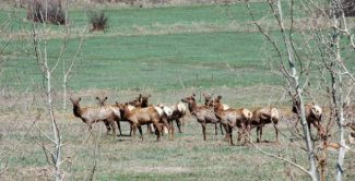 Big study planned on one of the major elk herds in Aspen area