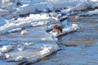 Videos: Two ice floes on Friday thrill midvalley observers; no harm reported