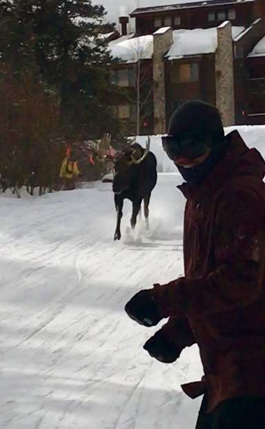 Moose chases skiers at Breckenridge Ski Resort