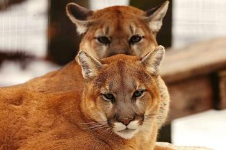 Mountain lions acting aggressively in West Glenwood