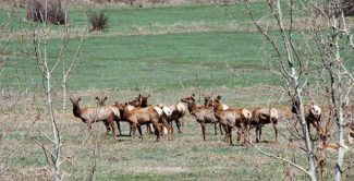 Elk hunt lottery for Sky Mountain near Aspen set March 28