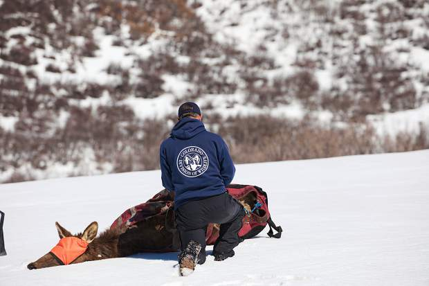 A worker with Colorado Parks and Wildlife prepares a pregnant cow elk for transport by helicopter as part of a study. The elk was hobbled and blindfolded before flown to a staging area.