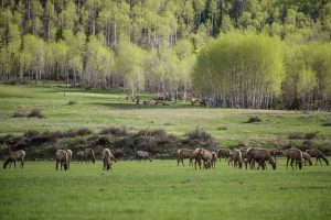 Snowmass Village trail closures help elk during spring calving season