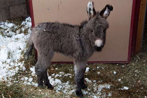 Born Feb. 17, Puzzle is a new addition at the T-Lazy-7 Ranch. Her mom is Tulip and her dad is Elmer.