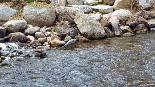 Reader Rich Pearce caught a rare glimpse of a blue heron on May 8. This one was having lunch on the Roaring Fork River near the old Power Plant building.
