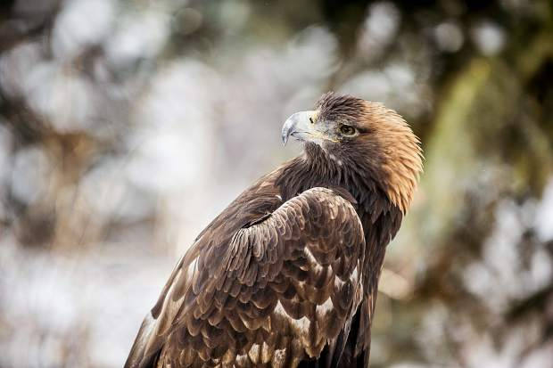 ACES' iconic Golden Eagle died of natural causes at Aspen's Hallam Lake on Sunday
