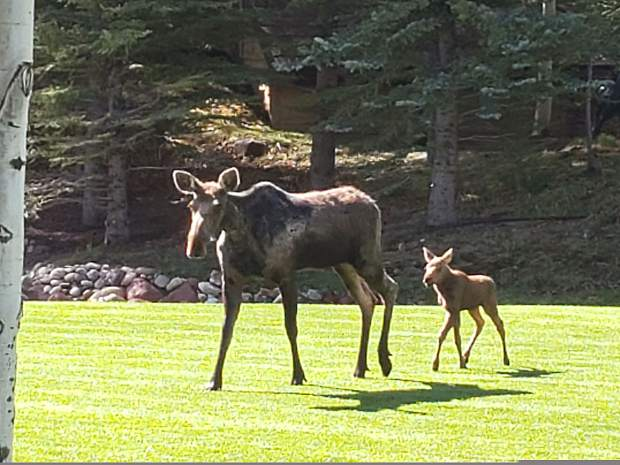 Reader Jim Korpela spotted this mama moose and her calf earlier this month grazing at the Maroon Creek Club before they trotted away.