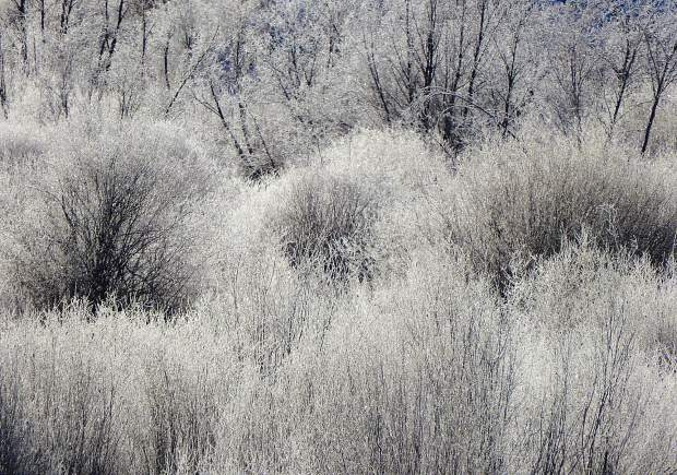 Frost-covered willows