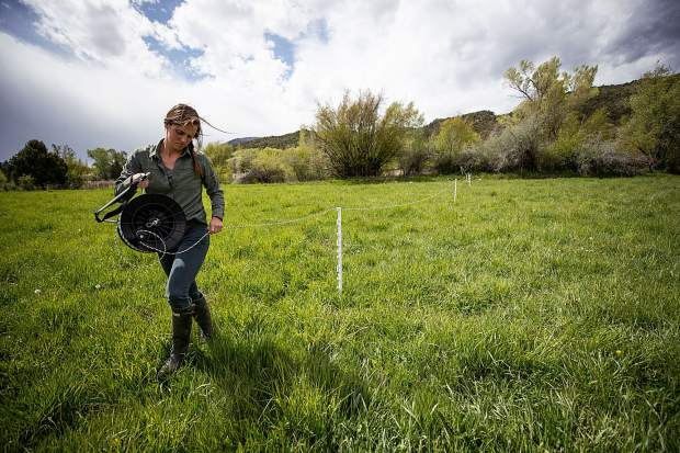 Rock Bottom Ranch Agriculture Manager Alyssa Barsanti sets up a new paddock for grazing for the recently delivered cattle from Cap-K Ranch on May 23.