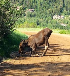 Young moose finds Smuggler Mountain Road grass irresistible, forces short closure