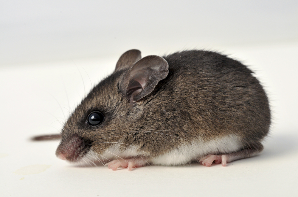 Garfield County Public Health officials warn public of deer mice carrying hantavirus