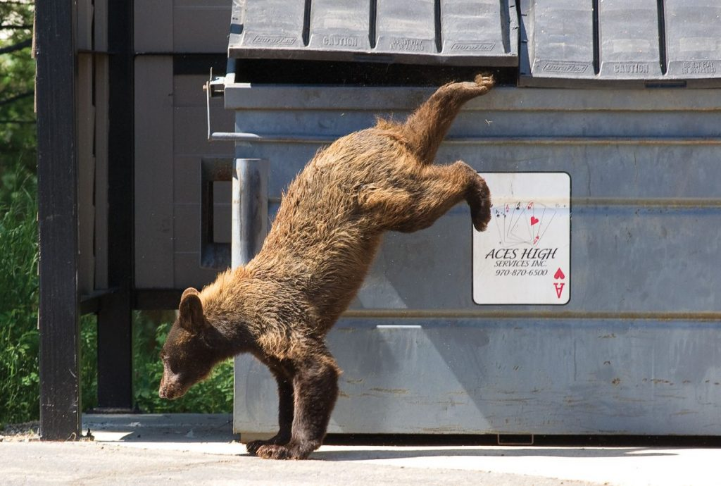 Bear euthanized in Steamboat Springs after breaking into garages, vehicles