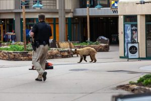 Wildlife on move around Snowmass Village, encounters increasing