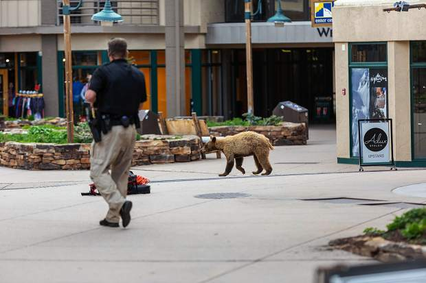 A bear runs through the Snowmass Mall on June 11, 2019. An armed Snowmass police officer followed behind to ensure the bear made it back to the trees safely.