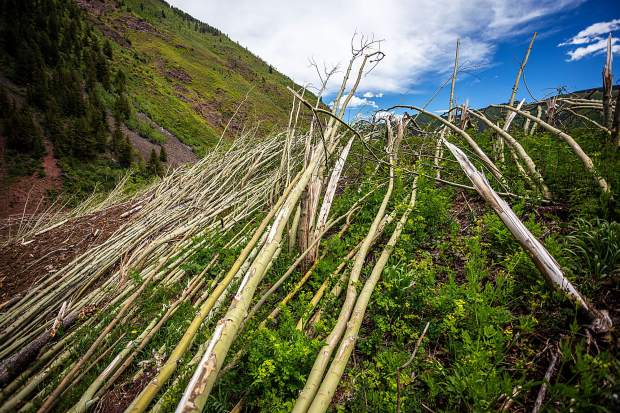 Aspen trees are flattened by devestating avalanches in the Conundrum Creek Valley.