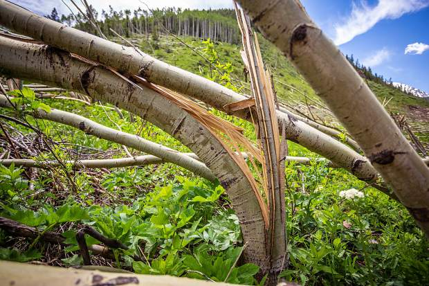 An aspen tree is reduced to splinters from an avalanche in Conundrum Creek Valley.