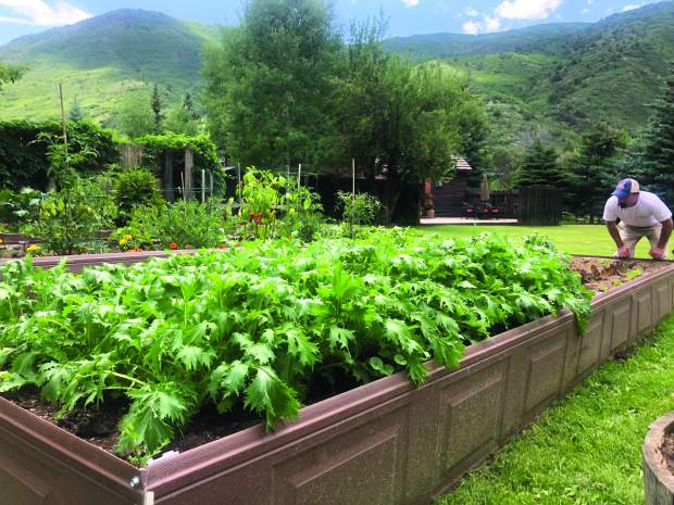 Chef Taylor Hale inspects his garden in Old Snowmass, which grows ample mizuna for Maru sashimi dishes .