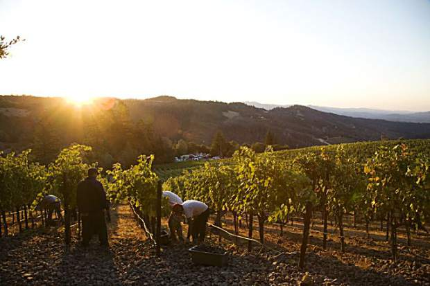 By the time the sun rises in the Napa Valley, the workers have already put in long hours picking clusters off the vines before the sun can warm the grapes. Harvest season in the Northern Hemisphere is in full swing as we approach Labor Day.