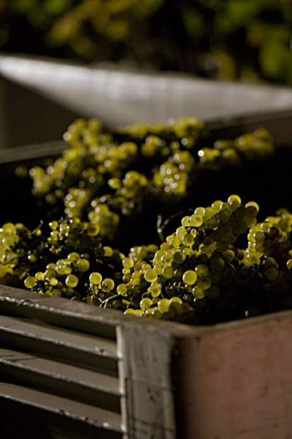 The white varieties of grapes like sauvignon blanc and chardonnay are the first to be picked in the harvest season, followed by thin-skinned red grapes and the heartier cabernet sauvignon.