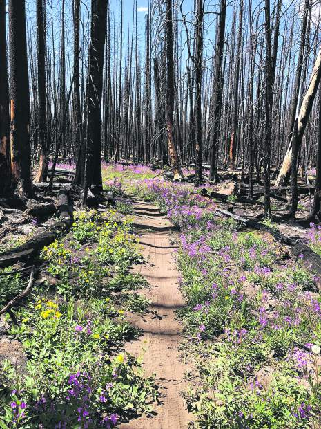 Fireweed and arnaca line a stretch of the Basalt Mountain Trail. It remained in bloom Saturday despite the hot, dry weather of August.