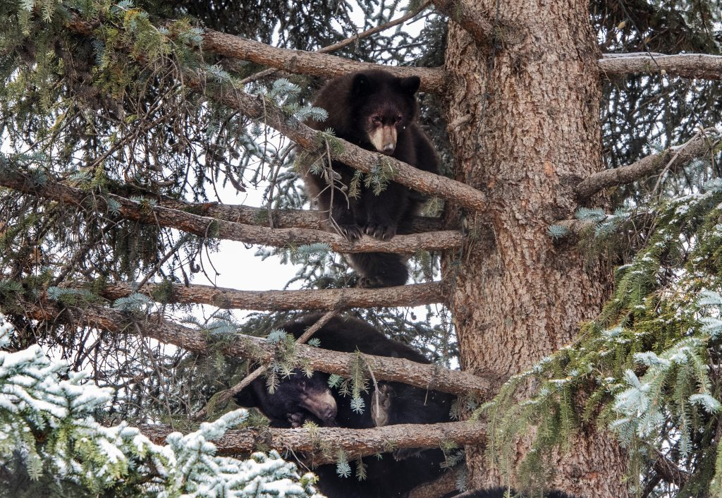Bears hang out in the top of a Blue Spruce in Aspen on Thursday, October 10, 2019. (Kelsey Brunner/The Aspen Times)