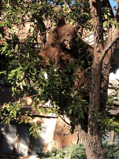 Outspoken reader Carl Heck took a break from making political commentary to get a shot of this bear hanging out in a tree. Heck reported he spotted the bruin Tuesday on his way to a political fundraiser for Sen. Michael Bennet .