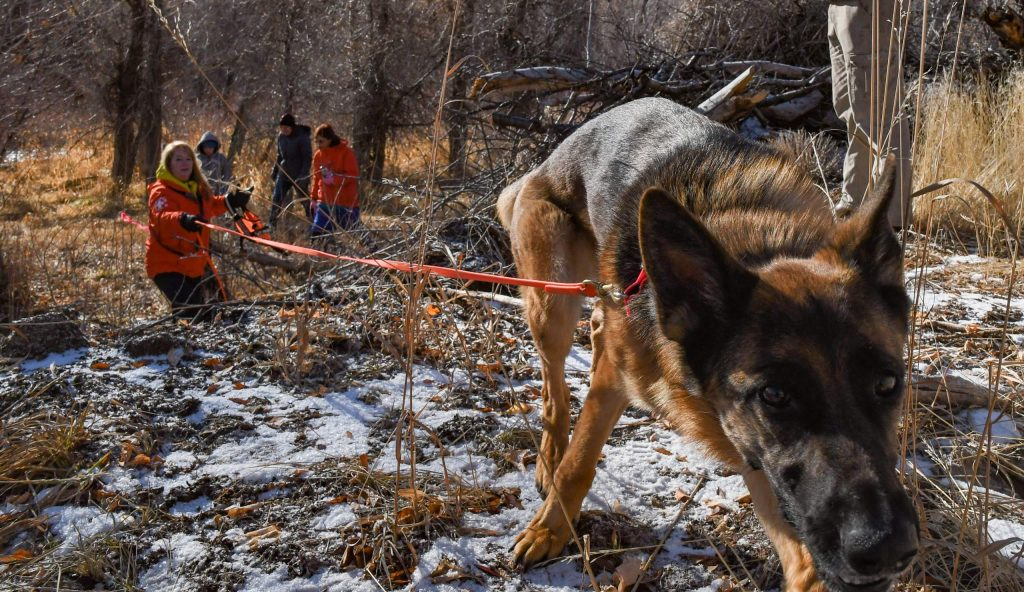 Search-and-rescue dog Billy leads hander Jody Gruys back through the woods after a successful find during training on Sunday morning.