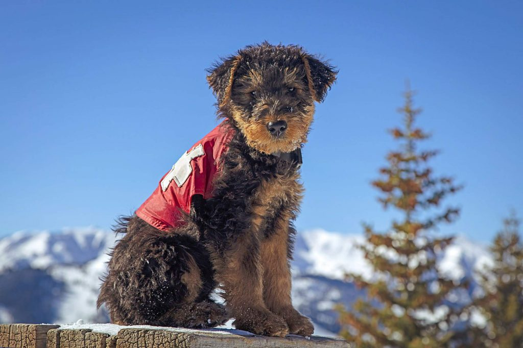 This Airedale pup, Zaugg, son of Zoot, arrived to join the Aspen Ski Patrol team.