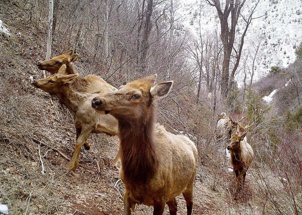 Elk travel through the Wheatley Open Space in March 2019. Elk populations in the Roaring Fork and Eagle valleys have dropped about 50 percent since year 2000,