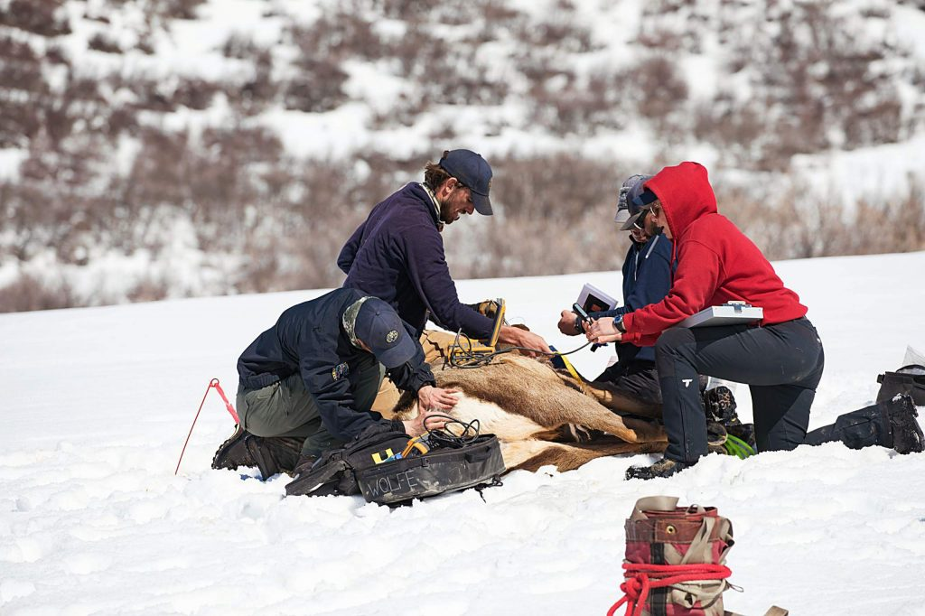 Workers with Colorado Parks and Wildlife monitor the health of a pregnant cow elk in March 2019 and implant a transmitter that will drop out as she prepares to give birth.