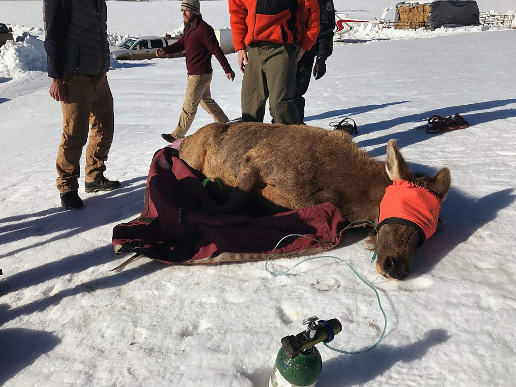 A cow elk is prepared for transport by helicopter to a staging area where it was fitted with a transmitter in March 2019. The transmitter falls out when the cow gives birth, allowing officers to rush to the scene and place a colar or ear tag transmitter on the calf. It is part of a six-year study.