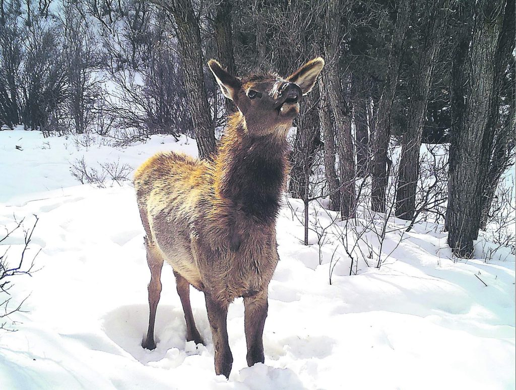 A wildlife camera captured the picture of a young elk on the Cozyline Trail in January 2019.