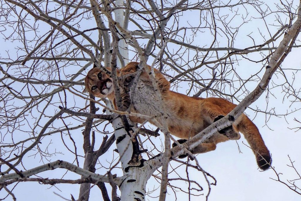 A large female mountain lion stares down at hunters and their dogs that treed her. The Colorado Parks and Wildlife commission voted to open another area near Aspen to mountain-lion hunting.