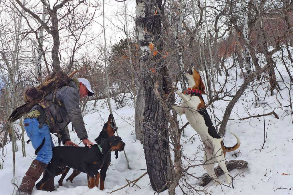 Jay Sills calms his black and tan hounds as they bark at a mountain lion they have just treed. Elah, an English coon hound, is focused on the mountain lion in the branches above.