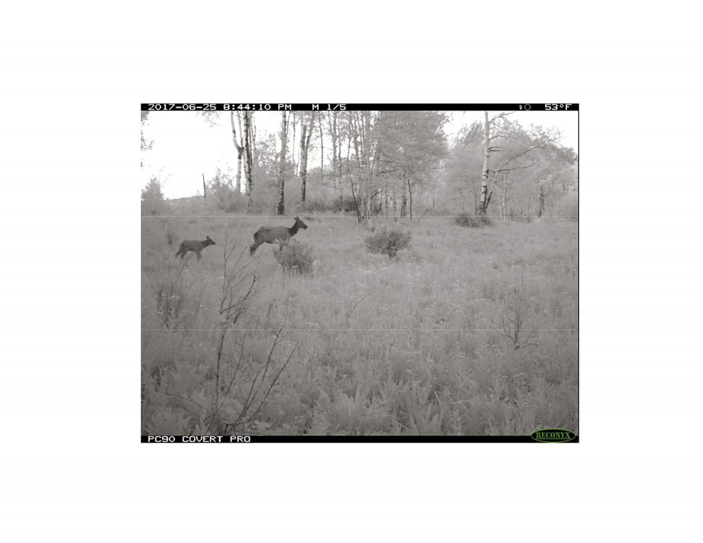 A wildlife camera captured this image of a cow elk with its calve on Burnt Mountain. Wildlife officials say it is vital to avoid disturbances while the calves are young.