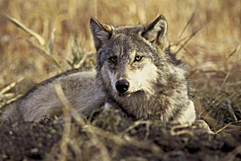 Gray wolves were extirpated from Colorado in the 1930s, but a pack was recently spotted in the northwest corner of the state. In November, voters in the state will decide on a measure to reintroduce gray wolves.