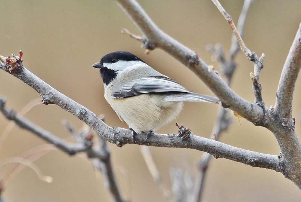 Meet the Black-Capped Chickadee, which have been around all winter, but only recently ramped up their singing and become more noticeable.