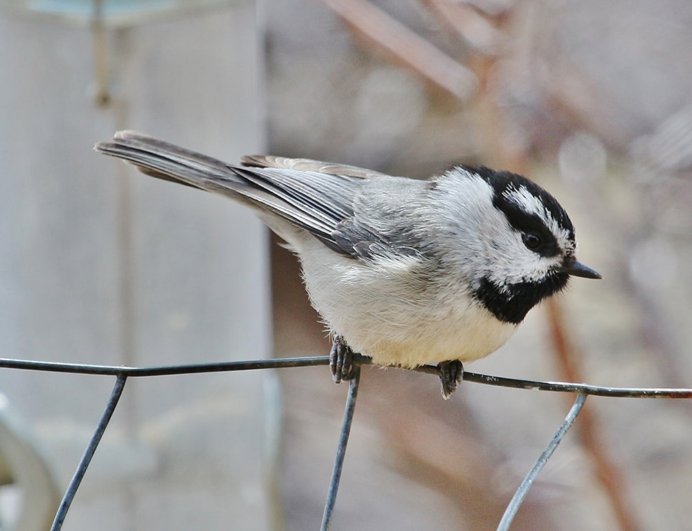 The Mountain Chickadee is a cheeky bird who will eat from your hand during the winter, but become more shy as warm weather food sources become available.