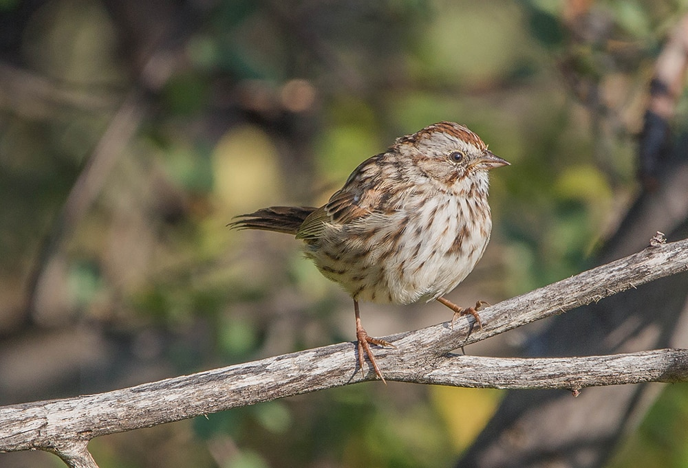 The Song Sparrows are singing like crazy these days. Listen for them anywhere around water, such as Hallam Lake, Hunter Creek, North Star, or any of the trails along the Roaring Fork River, Castle & Maroon Creeks, Woody Creek, etc.