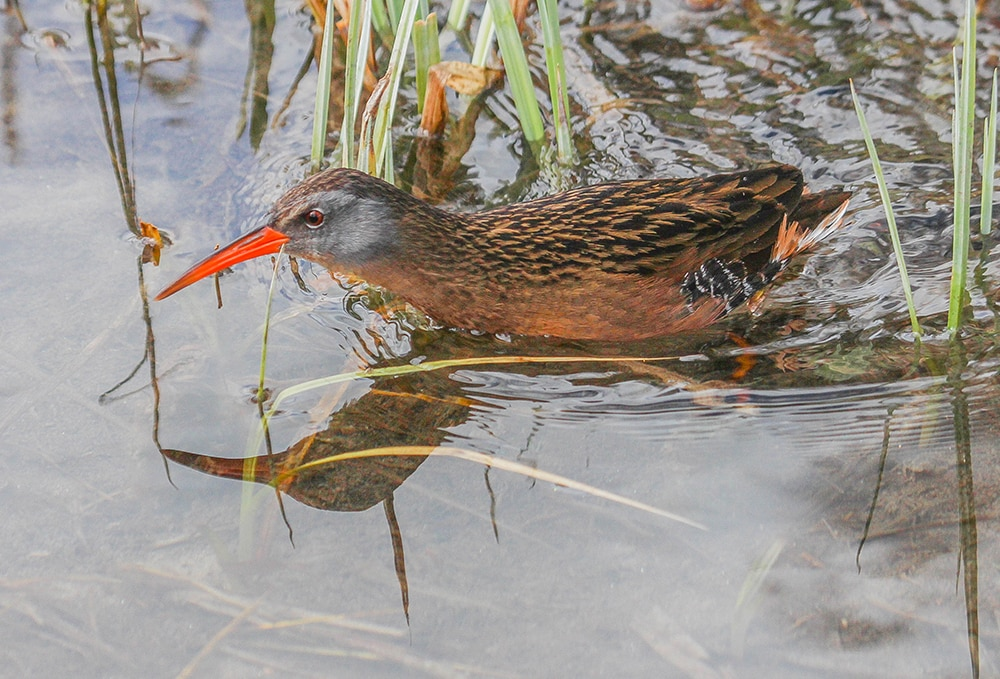 Talk about elusive – the Virginia Rail is a secretive bird, obscure and difficult to see and best found by voice. Listen for its sharp, raspy calls kidick kidick kidick.
