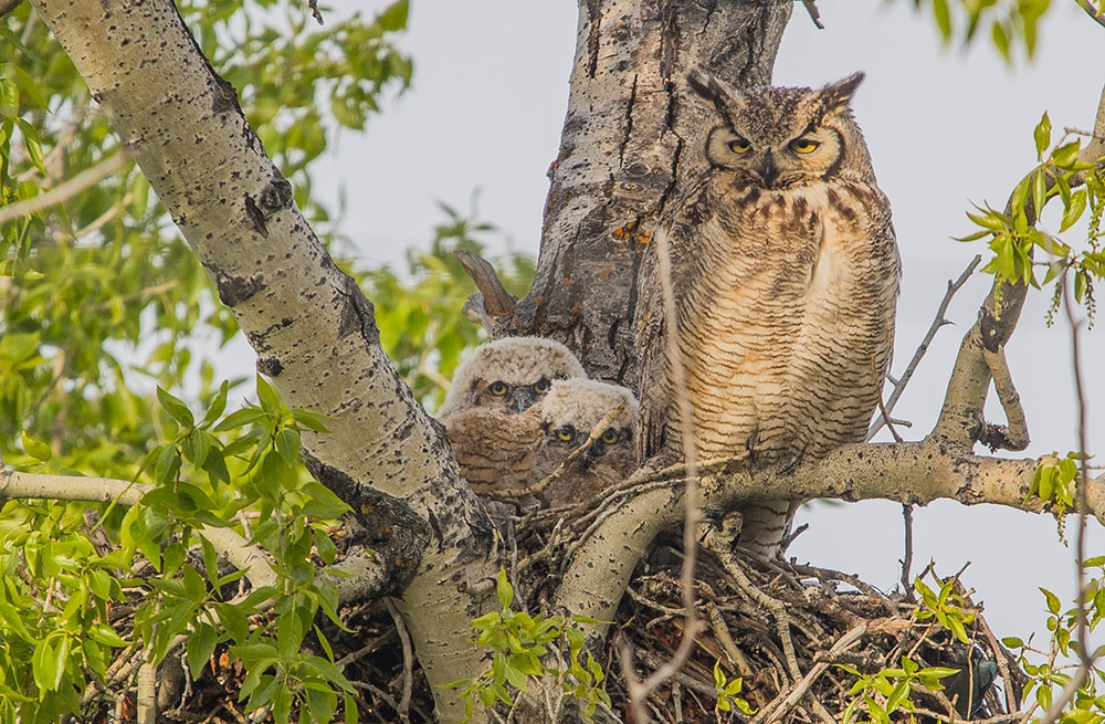 The Great Horned Owl may be incubating eggs already; they are known for getting an early start. They don't build their own nests, rather they take over the old nests of other large birds like Red-Tail Hawks and Magpies.