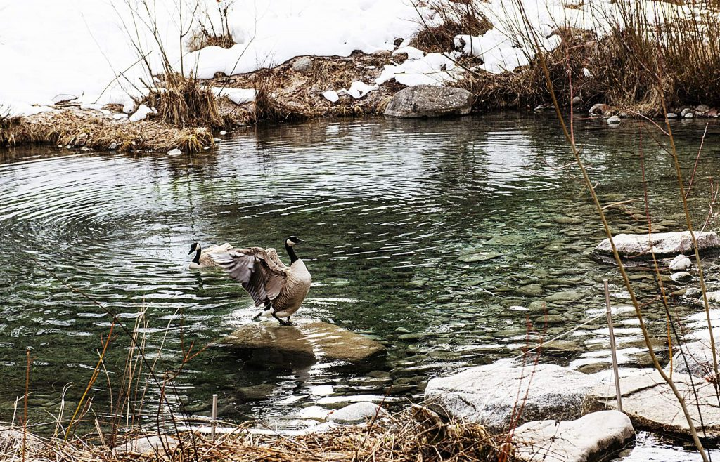 Geese swim in a pond at the ACES Hallam Lake campus on Wednesday, March 18, 2020. (Kelsey Brunner/The Aspen Times)