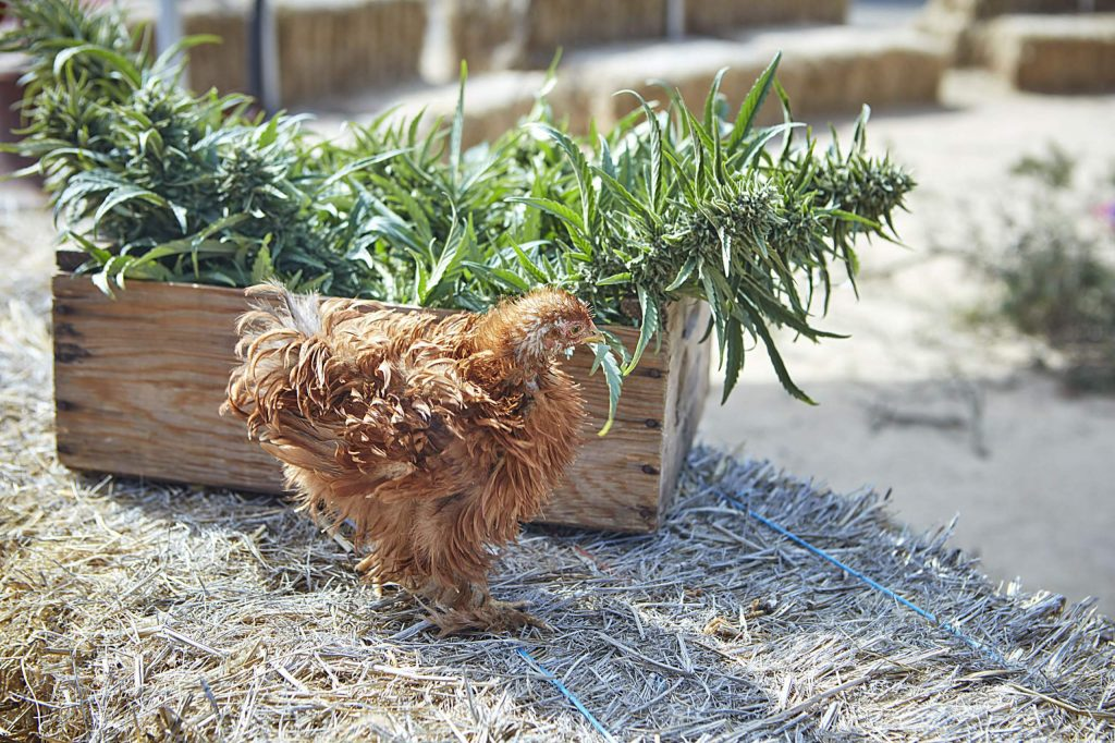 Cannabis and chickens coexist at Sonoma Hills Farm.