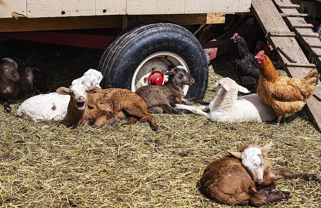 Newborn lambs nap in the sun at the Farm Collaborative in Aspen on Tuesday, April 21, 2020. (Kelsey Brunner/The Aspen Times)
