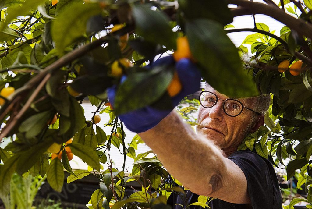 Jerome Osentowski, 78, harvests kumquats from a tree in his greenhouse at the Central Rocky Mountain Permaculture Institute in Basalt on Wednesday, April 1, 2020. Osentowski is also growing papayas, pomegranates, oranges, and sprouts within this particular greenhouse. (Kelsey Brunner/The Aspen Times)